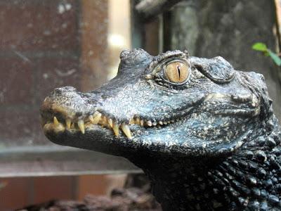 ¿Cocodrilo, caimán o aligátor?