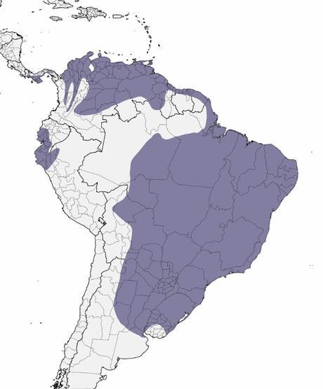 Aguilucho colorado (Buteogallus meridionalis)