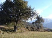 Árboles singulares Huesca Enebro José (Campo-Biescas)