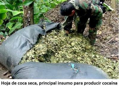 Desde Perú: Cultivos Ilegales de Coca Siguen Ganando Terreno.