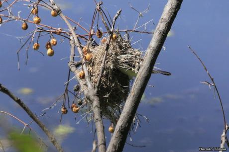 Viudita blanca (Fluvicola albiventer)