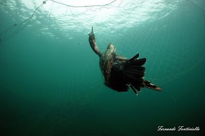 Cormoranes moñudos y aparejos hasta en el nido