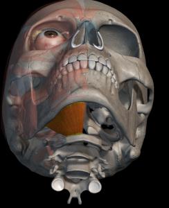 Dolor Lingual y sus implicaciones musculares