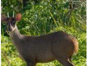 Ciervos Uruguay: guazubirá