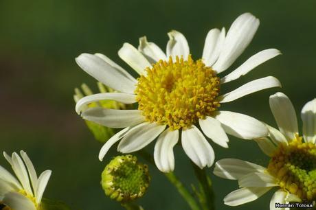 Macros de flores (serie blanca)