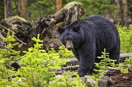 Black-bear.jpg.optimal ▷ Ideas del itinerario del Parque Nacional Glacier de 1 a 5 días