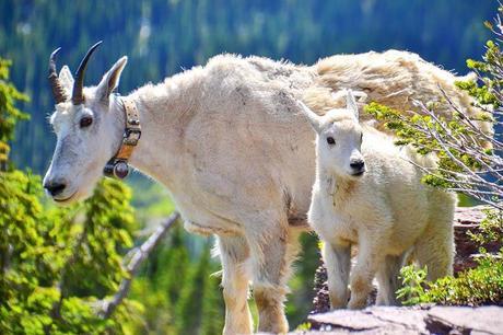 Mountain-goats-in-Glacier-National-Park.jpg.optimal ▷ Ideas del itinerario del Parque Nacional Glacier de 1 a 5 días