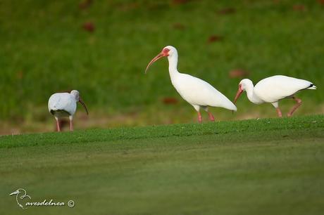 Ibis Blanco (White Ibis) Eudocimus albus (Linnaeus, 1758)