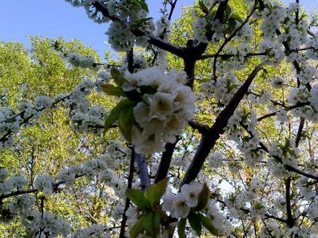 Fotos del Cerezo en flor 2011