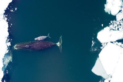 La ballena de Groenlandia, dos siglos surcando los mares