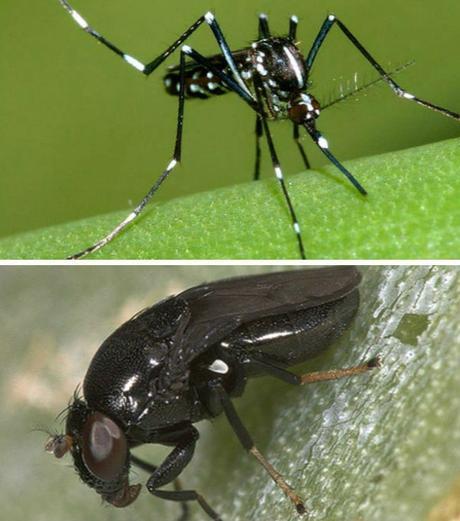 Mosquito tigre y Mosca negra