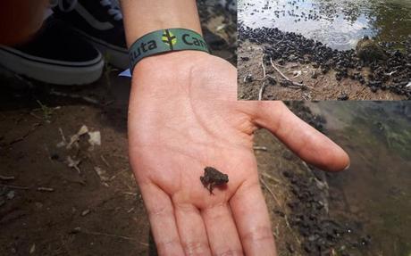 Piden cuidar a miles de ranitas del Parque Tangamanga