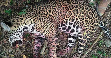Continúa la caza furtiva en la Huasteca Potosina