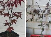 (Bonsais) Primera baja: Acer palmatum atropurpureum