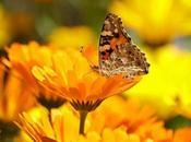 caléndula, propiedades, beneficios cuidados planta