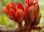 Chiranthodendron pentadactylon: árbol manitas