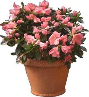 Plantas de interior con flores paperblog - Plantas de interior con flor ...