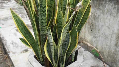 La espada de San Jorge, una planta que purifica el aire