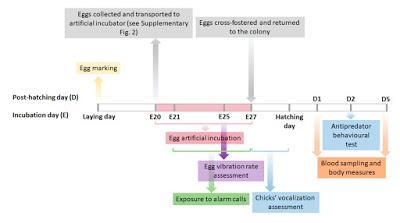 Los embriones de las gaviotas alertan del peligro a sus hermanos desde dentro del huevo