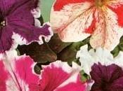 Petunia supervissima,flores enormes.