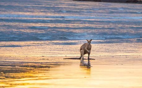 kangaroos-on-the-beach-Cape-Hillsborough-10 ▷ Comente cuándo las redes sociales le roban los momentos de viaje y los recuerdos de Por qué tendrá que hacerlo De ninguna manera Envíe sobre sus vacaciones mientras viaja - Travel-News