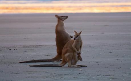 kangaroos-on-the-beach-Cape-Hillsborough-4-710x443 ▷ Comente cuándo las redes sociales le roban los momentos de viaje y los recuerdos de Por qué tendrá que hacerlo De ninguna manera Envíe sobre sus vacaciones mientras viaja - Travel-News