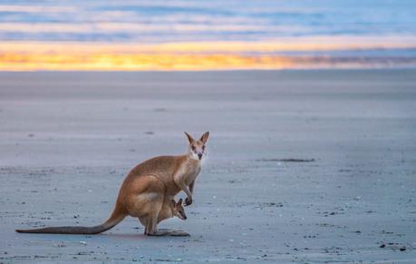 kangaroos-on-the-beach-Cape-Hillsborough-5 ▷ Comente cuándo las redes sociales le roban los momentos de viaje y los recuerdos de Por qué tendrá que hacerlo De ninguna manera Envíe sobre sus vacaciones mientras viaja - Travel-News