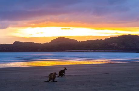 kangaroos-on-the-beach-Cape-Hillsborough-3 ▷ Comente cuándo las redes sociales le roban los momentos de viaje y los recuerdos de Por qué tendrá que hacerlo De ninguna manera Envíe sobre sus vacaciones mientras viaja - Travel-News