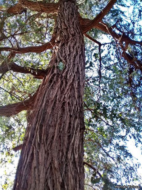 Eucalipto de adorno (Eucalyptus cinerea)