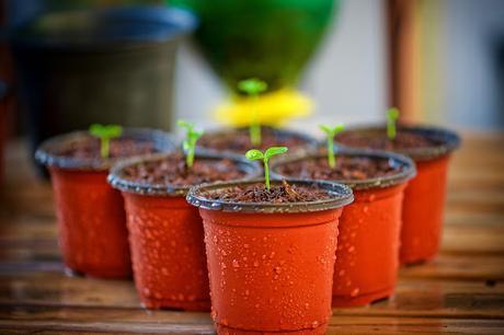 Cómo cultivar un árbol kiri
