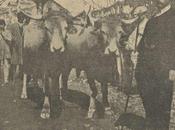 1911: Pareja novillos tudancos Vicente Ruiz Mora obtuvieron premio pesetas Exposición Torrelavega