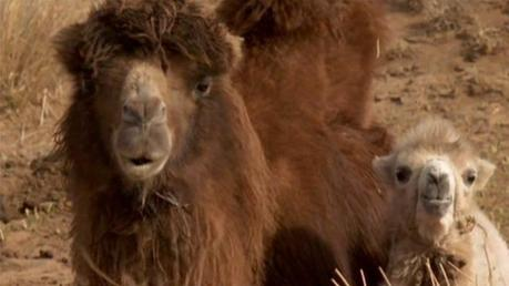 """""""La historia del Camello que llora"""", Byambasuren Davaa/Luigi Falorni"""
