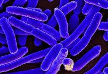 Un antibiótico natural puede combatir la E. coli