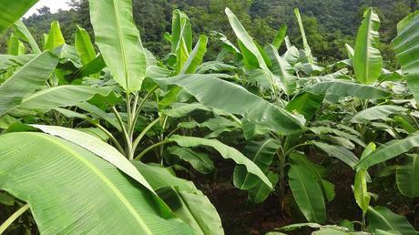 Ecuatoriana logra purificar agua con restos de Banano