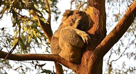 Adelaide-Koala ▷ Opina sobre Cosas que hacer en Adelaida - guía de la ciudad por Cosas que hacer en Adelaida - guía de la ciudad - My Fashion Blog