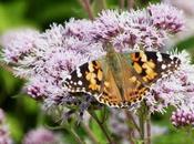 Plantas atraen mariposas