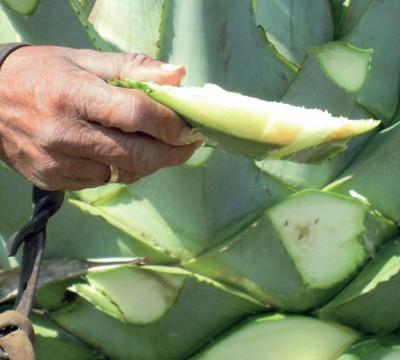 sirope de agave contraindicaciones