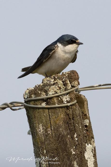 Golondrina ceja blanca (White-rumped Swallow) Tachycineta leucorrhoa