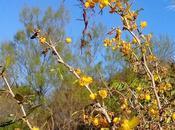 Espina amarilla (Berberis ruscifolia)