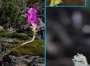 planta nueva para ciencia presente Valle Jerte