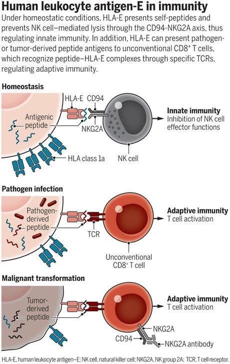 Nuestros extraordinarios linfocitos T