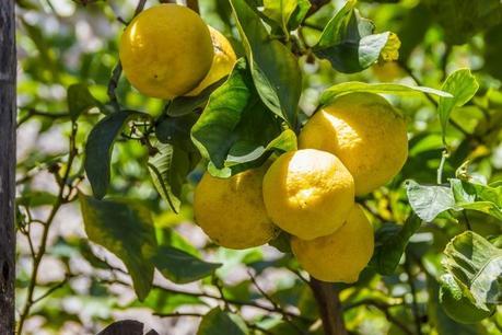 Frutos del limonero