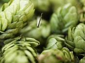 Lúpulo: propiedades medicinales, cultivo contraindicaciones ingrediente estrella cerveza