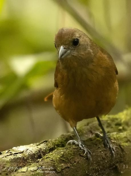 Frutero coronado (Ruby-crowned Tanager) Tachyphonus coronatus