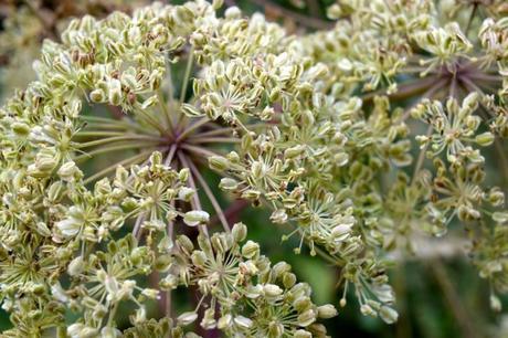 La Angelica: Usos, Beneficios y Contraindicaciones