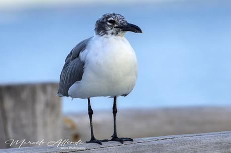 Gaviota Reidora Americana (Laughing Gull) Leucophaeus atricilla