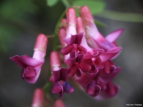 Arvejilla (Vicia nigricans)