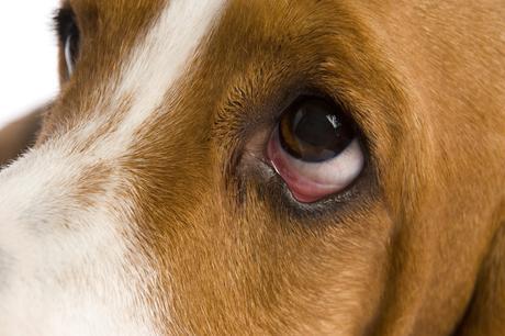 Erliquiosis canina, una enfermedad que puede ser mortal para tu perro