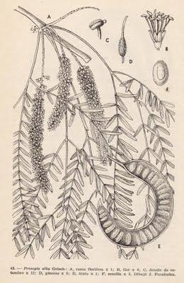 Arboles Nativos: Algarrobo