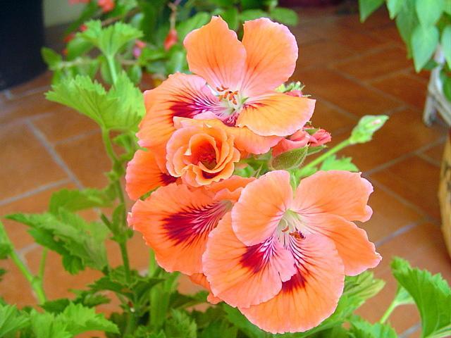 Los geranios y pelargonium paperblog for Malvarrosa planta